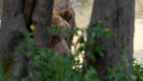 Sluit van wilde Bruin dragen omhoog lopen vrij door bomen en installaties bij bos stock videobeelden