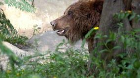 Sluit van wilde Bruin dragen omhoog lopen vrij door bomen en installaties bij bos stock footage