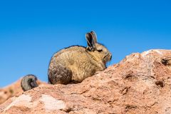 Sluit vizcacha omhoog pic in een rots in Bolivië royalty-vrije stock fotografie