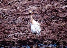 Sluit witte vogel rond het geoogste padieveld lopen en voor voedsel letten op, omhoog kleine insecten en vissen die in platteland stock afbeeldingen