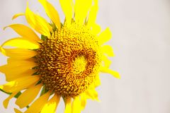 Sluiten de bloem Mooie Bloemblaadjes, Macro Gouden Zonnebloem, omhoog Natuurlijk Stock Foto's
