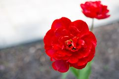 Sluiten de bloem rode tulpen omhoog in de tuin Royalty-vrije Stock Afbeelding