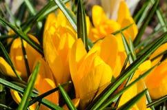 Sluiten de heldere gele sneeuwklokjes van de lentesleutelbloemen met groene bladeren Royalty-vrije Stock Afbeelding