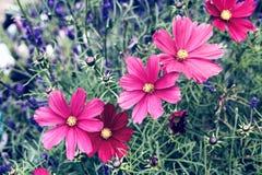 Sluiten de kosmos roze bloemen omhoog in de tuin royalty-vrije stock afbeelding