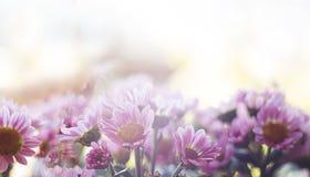 Sluiten de magische roze bloemen van de bannerlente omhoog op een vage achtergrond stock afbeeldingen