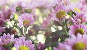 Sluiten de magische roze bloemen van de bannerlente omhoog op een vage achtergrond stock foto