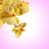 Sluiten de orchidee gele bloemen omhoog op roze achtergrond Stock Afbeeldingen