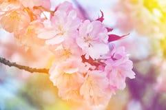 Sluiten-op kersenbloesem met de achtergrond van de pastelkleurgradiënt Royalty-vrije Stock Foto's