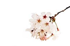 Sluiten-op kersenbloesem op witte achtergrond wordt geïsoleerd die stock foto