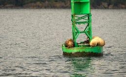 Slumber λιονταριών θάλασσας ωκεάνια άγρια φύση θάλασσας κόλπων Reserrection σημαντήρων Στοκ φωτογραφία με δικαίωμα ελεύθερης χρήσης