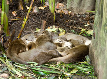 Slumber Party. A group of giant otters take a mid afternoon nap Stock Image