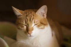 Кот имбиря сонный, slumbering кот, сторона кота Стоковая Фотография