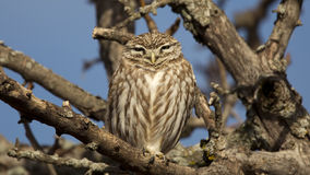Slumbering Beauty. Little owl is perching on a tree branch and is about to sleep stock photography