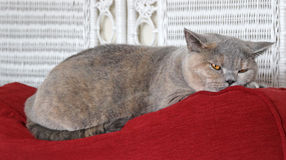 Slumbering cat. Photo of a beautiful pedigree british shorthair cat slumbering on top of her favourite sofa Royalty Free Stock Photography