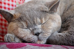 Slumbering cat Stock Photos