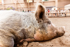 Slumbering pig Stock Photography