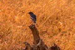 Slumpmässig klick av den svarta fågeln på trädstammen i den mitt- skogen royaltyfri foto