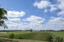 Slumpmässig vingård, södra Australien Arkivfoto