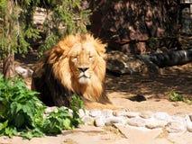 Slumra lejonet Arkivbild