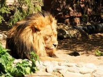 Slumra lejonet Fotografering för Bildbyråer