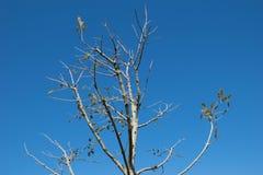 Slut av trädpunkten upp i det djupblå cloundless för himmel Royaltyfria Bilder