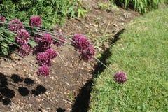 Slut av trevliga säsonggräslökar och purpurfärgad mmmm arkivfoto