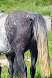 Slut eller arsel för hästar bakre Royaltyfri Fotografi