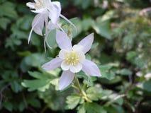 Slut för akleja Colorado för statlig blomma upp royaltyfri foto