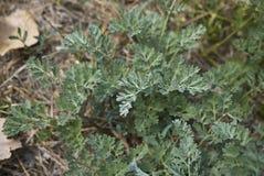 Slut för Artemisiaabsinthiumväxt upp Arkivbild