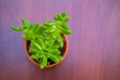 Slut för bästa sikt upp av den lilla gröna banansuckulenten royaltyfria bilder