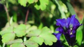 Slut för blomma för gentianablomma Gentiana upp stock video