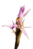 Slut för blomma för orkidé för Limodorum trabutianum löst upp över vit Royaltyfria Bilder