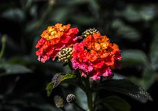 Slut för blommahuvud upp Arkivfoto