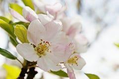 Slut för blomning för vårTid persika upp Arkivbild