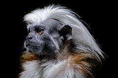 slut för Bomull-överkant tamarinprimat upp ståenden och mörkerbakgrund royaltyfri foto