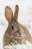 Slut för bomullssvanskaninkanin upp i snö Royaltyfri Foto