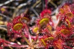Slut för Drocera anglicablomma upp Sileshåret bor på träsk, och den fiskar klibbiga sidor för kryp Liv av växter och kryp på myra Royaltyfri Fotografi