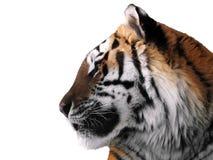 Slut för framsida för tiger` som s isoleras upp på den vita profilen Royaltyfri Foto