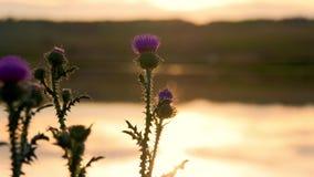 Slut för gräsblommaäng upp solnedgång lager videofilmer