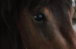 Slut för hästbruntöga upp djur Arkivbild