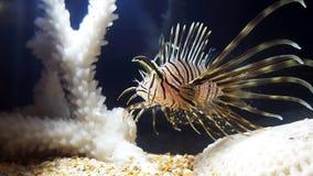 Slut för juveline för volitans för lejonfiskPterois upp Arkivfoton