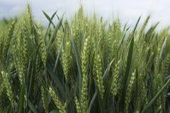 Slut för kornkornfält upp Arkivbilder