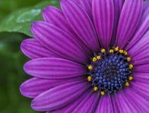 Slut för lila- och blåttGerber tusensköna upp Arkivfoto