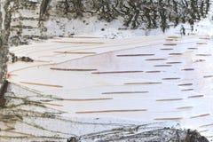 för papper för naturlig bakgrund för textur för björkskäll Arkivbilder