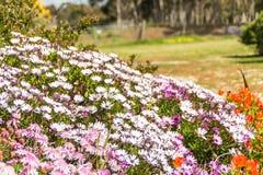 Slut för purpurfärgad och vit blomma upp Royaltyfri Fotografi