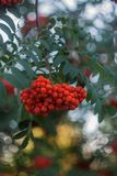 Slut för rönnfilial upp det fria på grön bakgrund, orange rönnbär, naturlig bakgrund, rönnbär på en filial royaltyfri bild