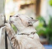 Slut för stående för kattskrapa upp Fotografering för Bildbyråer