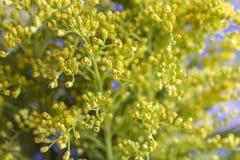Slut för växt för Casia blommautfyllnadsgods upp fotografering för bildbyråer
