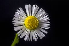 Slut för vit blomma upp, makrofoto arkivbild