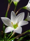 Slut för vit lilja upp skönhetligth Royaltyfria Bilder